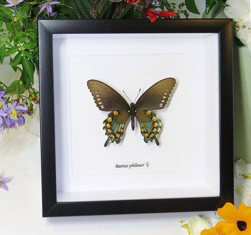 Pipevine swallowtail - battus philenor butterfly -American butterfly-bitsandbugs