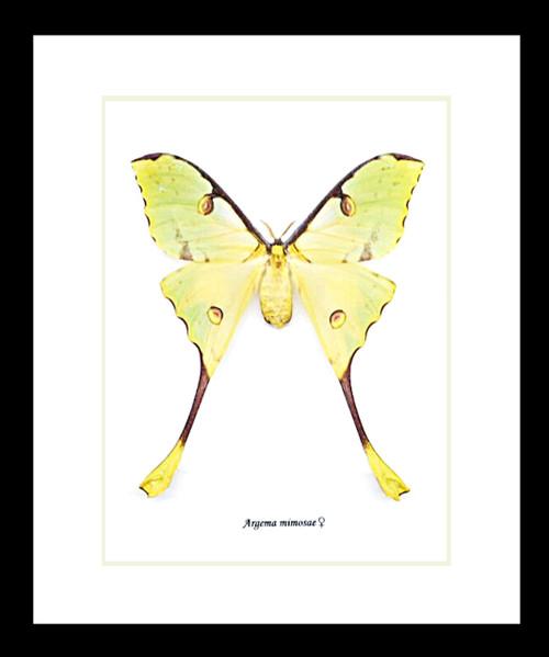 African moon moth Argema mimosae bitsandbugs