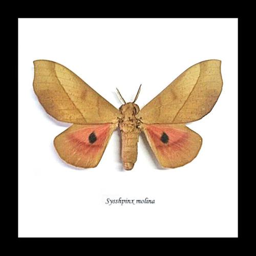 moth insect framed insect display taxidermy bitsandbugs Sysshpinx molina