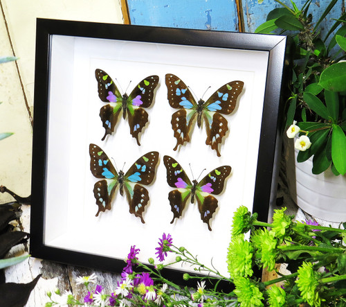 butterflies purple and blue Graphium weiskei and Graphium stressemanni Bits & Bugs