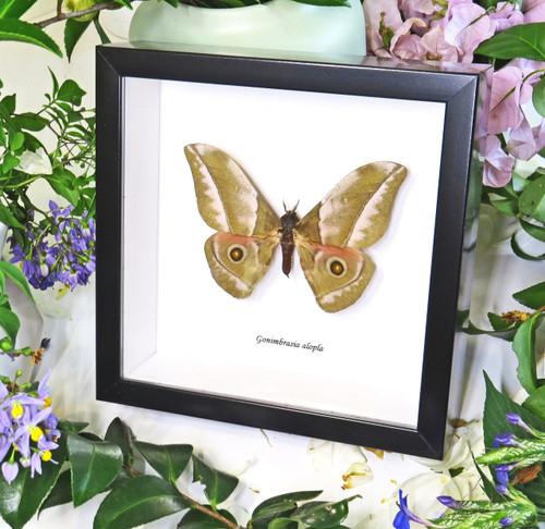 moth framed in shadowbox Gonimbrasia alopa bits & bugs