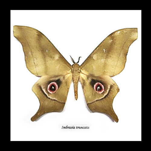 Imbrasia truncata saturnid moth in frame bits and bugs