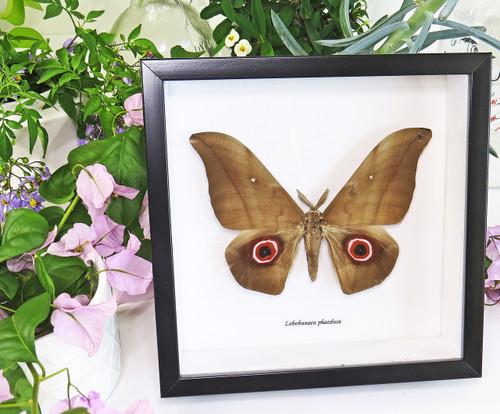 Lobobunaea phaedusa saturnid moth in frame bits and bugs