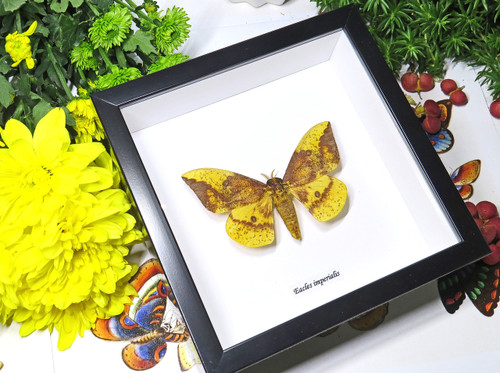 moth framed in shadowbox Eacles imperialis bits & bugs