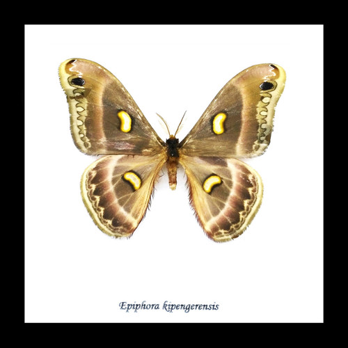 moth butterfly taxidermy insect entomology saturnid Epiphora kipengerensis