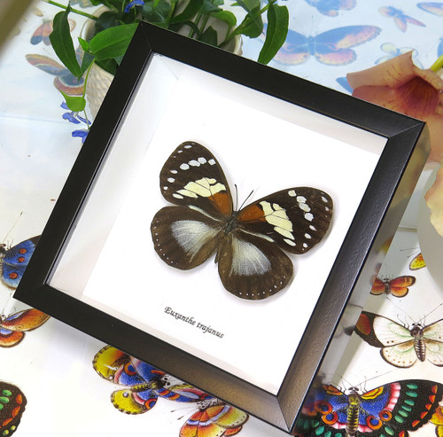 African butterfly Euxanthe trajanus bits and bugs