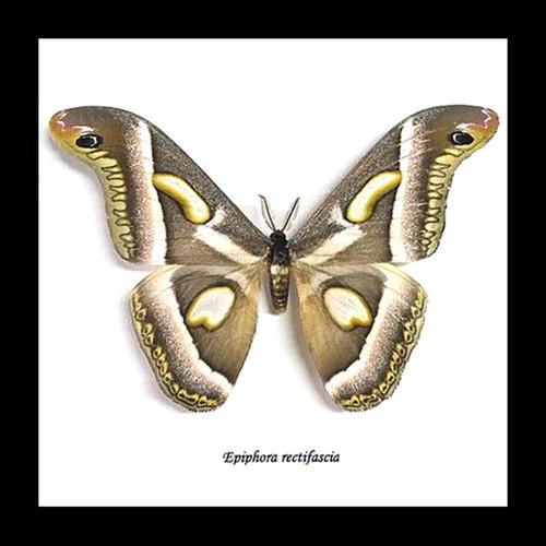 moth framed in shadowbox Epiphora rectifascia bits & bugs
