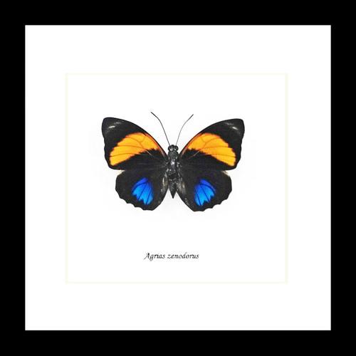 real Agrias amydon zenodorus butterfly in frame