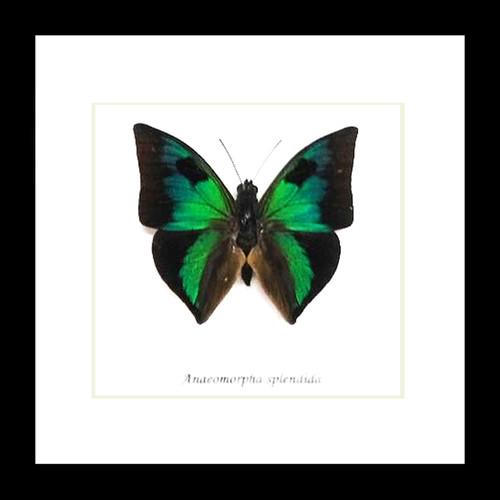 Anaeomorpha splendida