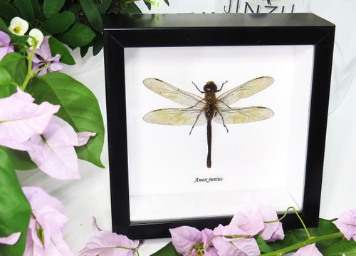 Anax junius dragonfly for sale framed home decor interior design Bits & Bugs