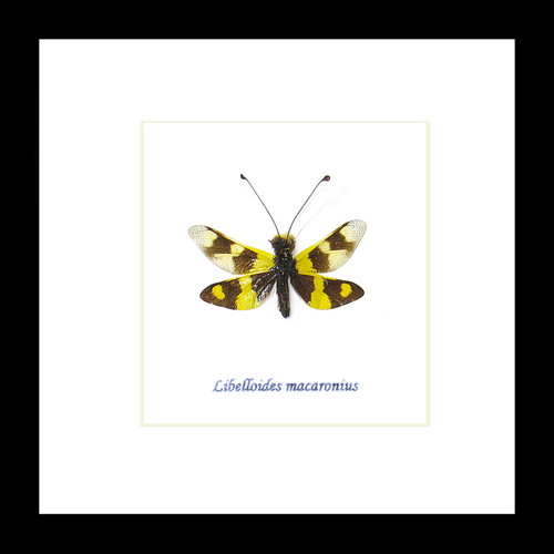 Libelloides macaronius dragonfly for sale framed home decor interior design Bits & Bugs