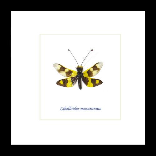 Libelloides macaronius dragonfly for sale framed home decor interior design Bits & Bugs
