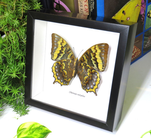 Framed butterflies Charaxes euryalus Bits & Bugs