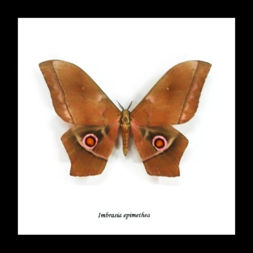 Imbrasia epimethea moth display Bits and Bugs