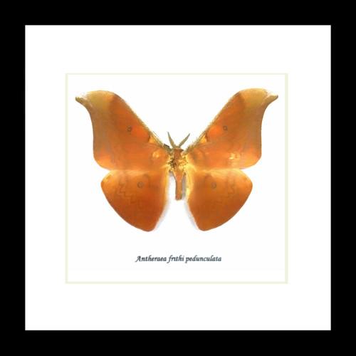 Antheraea frithi pedunculata