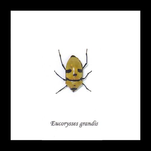 Eucorysses grandis