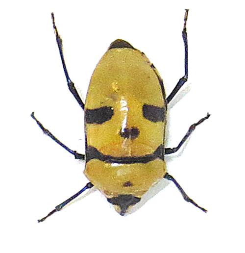 Death head bug