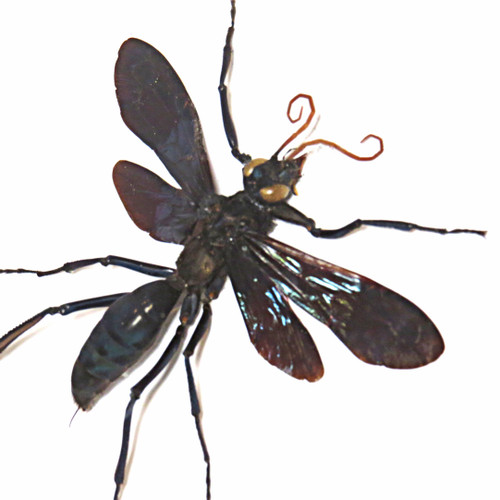 Wasps insects bugs taxidermy entomology pepsis wasp Wasps insects bugs taxidermy entomology pepsis wasp