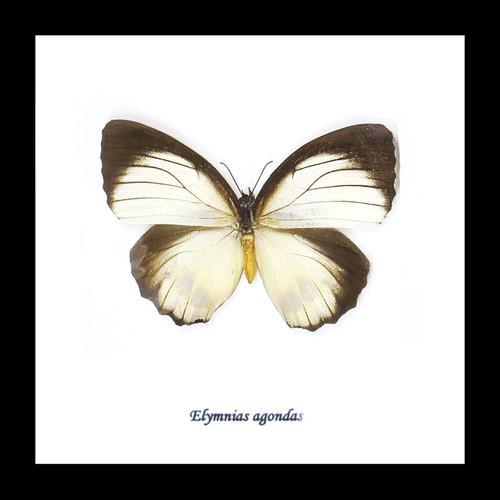 Elymnias agondas Bits&Bugs
