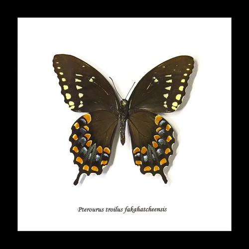 Pterourus troilus fakahatcheensis