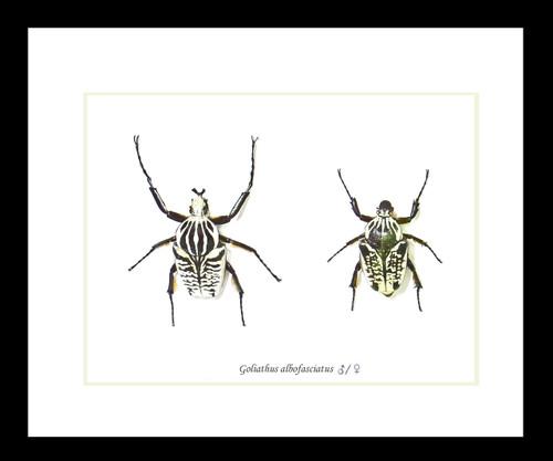 Goliath albofasciatus