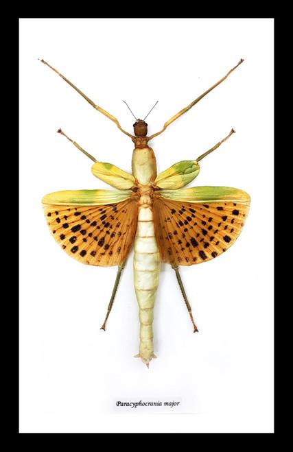 Stick insect framed paracyphocrania major Bits & Bugs