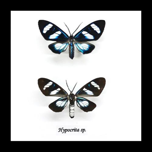 Hypocrita  species