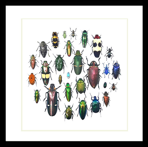 Jewel Beetle display