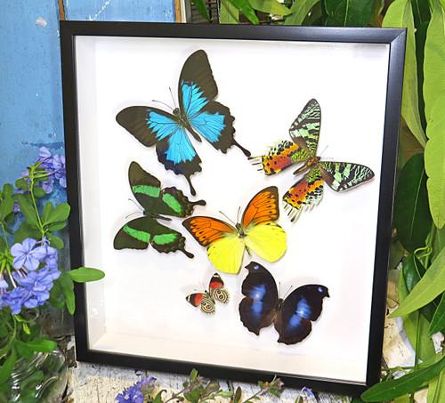Papilio ulysses, Chrysiridia riphaeria, Papilio palinurus, Diethra sp. Hebomoia leucippe, Napeocles jacunda