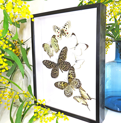 Black & white butterfly sweep