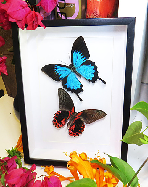 Papilio ulysses / rumanzovia