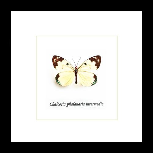 Chalcosia phalanaria intermedia
