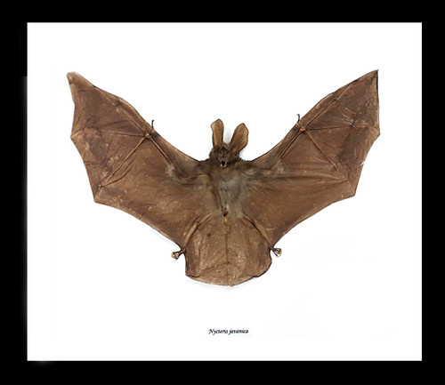 Nycteris javanica Bat Skull Taxidermy REAL