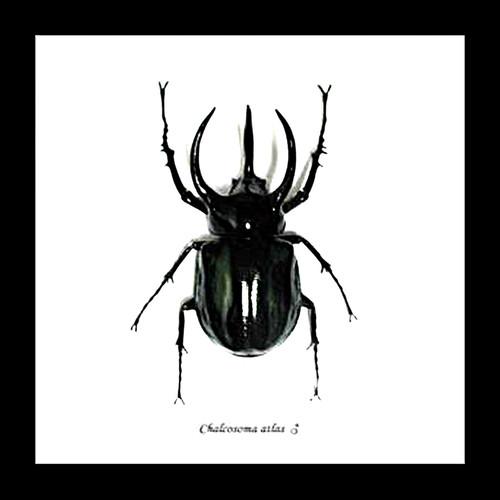 Rhino beetle real bug entomology specimen Chalcosoma atlas