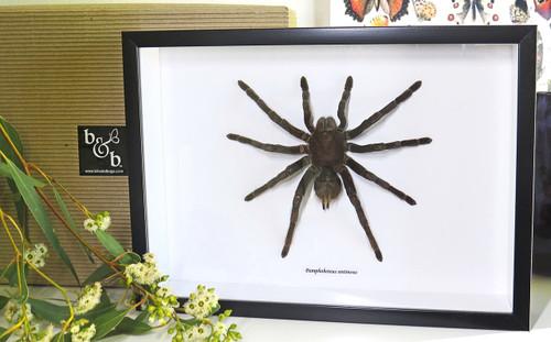 Pamphobeteus antinous Bits & Bugs