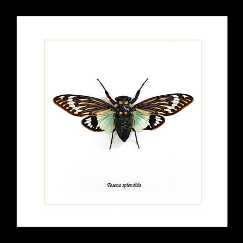 Cicada real insect Tosena splendida Bits & Bugs