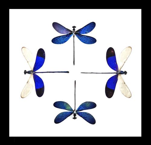 dragonfly damselfy framed