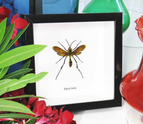 Pepsis Wasps insects bugs taxidermy entomology
