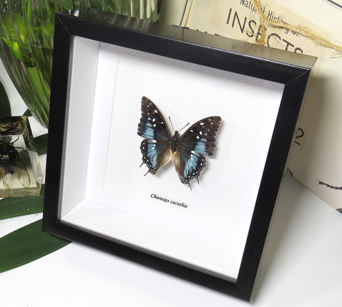 Charaxes cacuthis