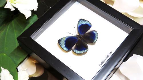 Framed butterflies Callithea philotima Bits&Bugs