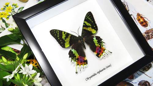 Real butterfly framed Chrysiridia rhipheus ( Sunset Moth ) Bits&Bugs