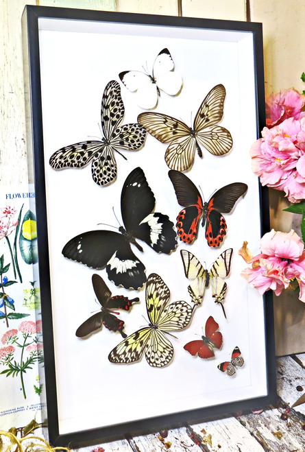 black white red butterfly collection in shadowbox frame