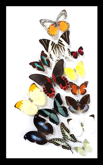 butterfly collection taxidermy framed Australia