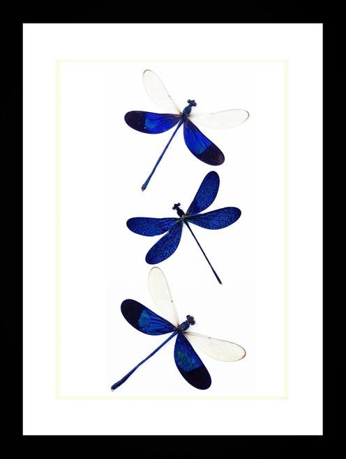 Neurobasis kaupi blue dragonfly