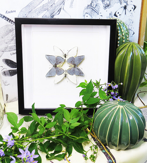 Appias celestina australian butterfly collection
