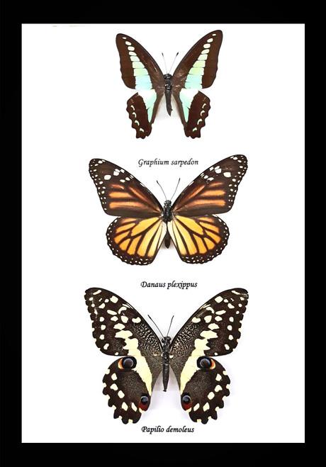Australian framed butterfly  Bits & Bugs Graphium sarpedon,Danaus plexippus,papilio demoleus