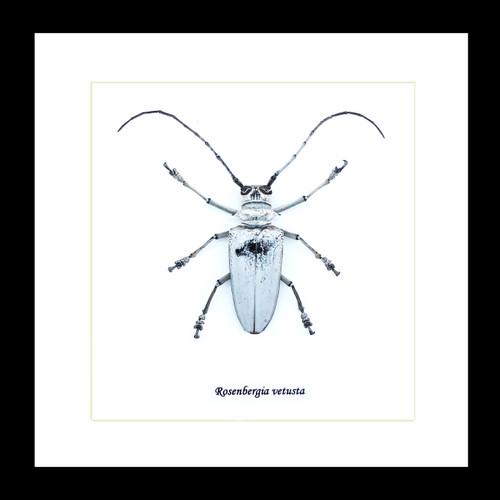Rosenbergia vetusta  longhorn beetle