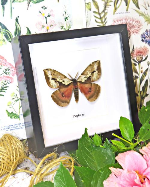 Dirphia species  moth