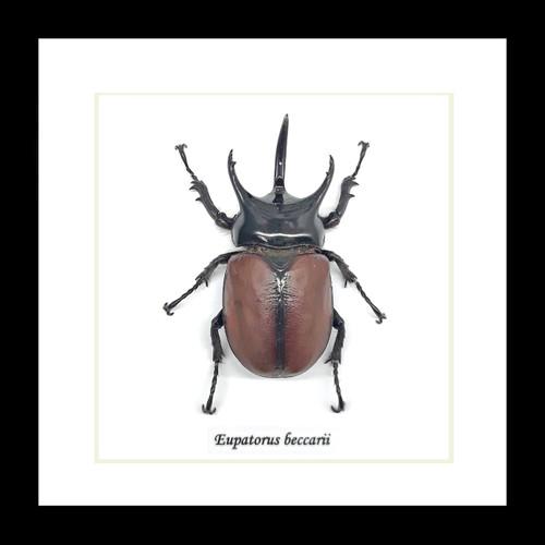 Eupatorus beccarii