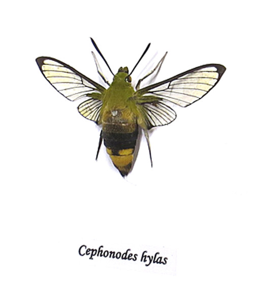 Cephonodes hylas ( back in stock October 2021 )